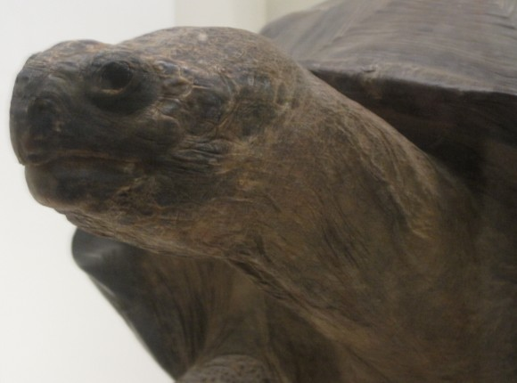 The Constipated Tortoise