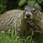 Groundhog Eating Grass